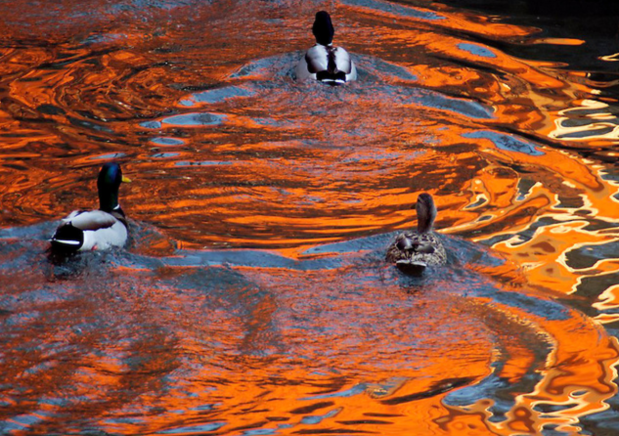 Ducks in Christo reflection